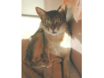 Osiris Abyssinians - Abyssinian Cat Breeder - Brisbane, Queensland