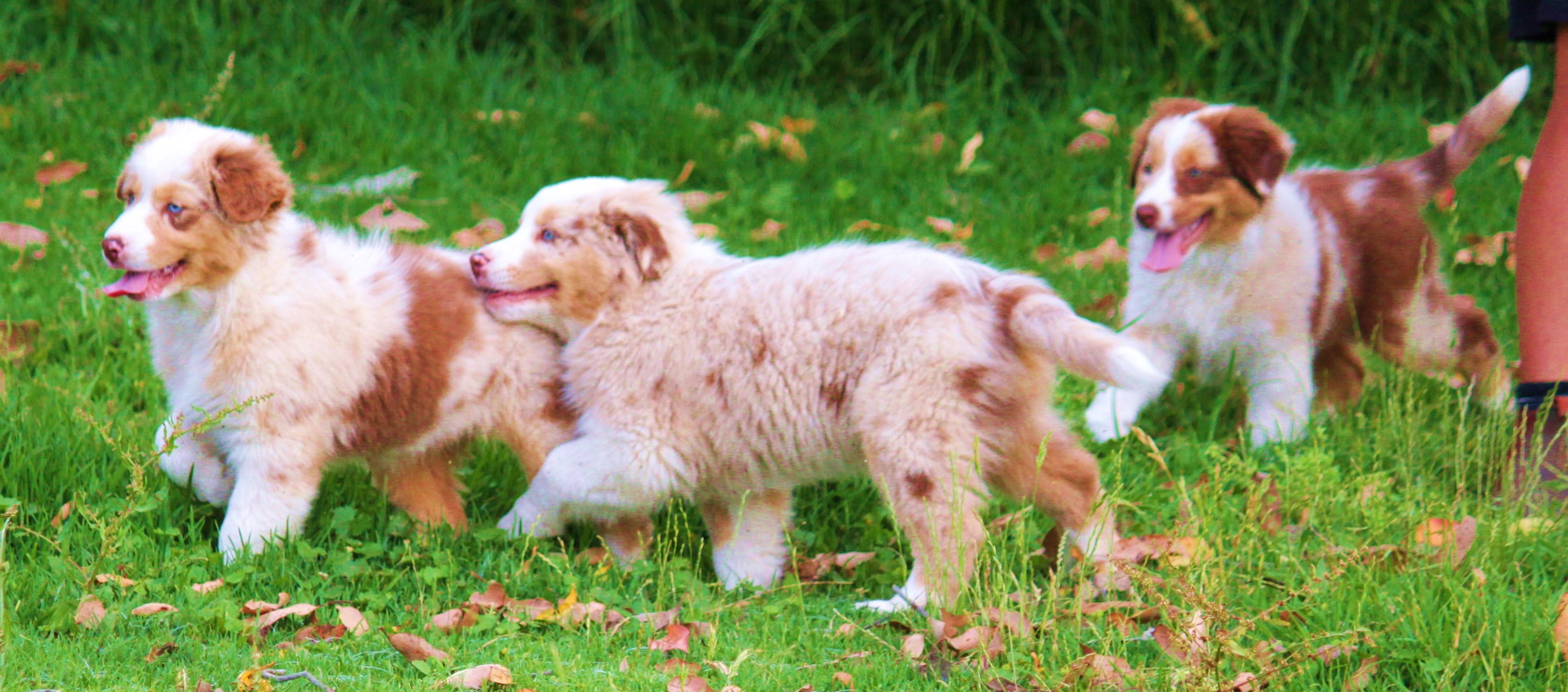 Zenderland Puppies Australian Shepherds gallery image
