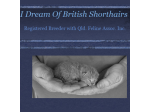 I dream of British Shorthairs - British Shorthair Breeders Aust - Brisbane, Queensland