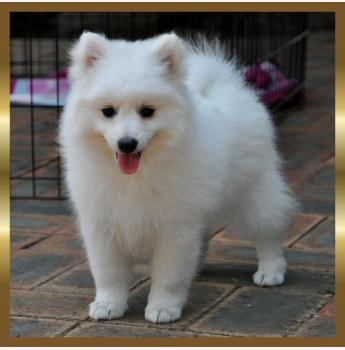 Jonja Kennels Japanese Spitz Breeder Gold Coast Qld