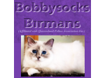 Bobbysocks Birmans - Birman Breeder - Brisbane, Queensland