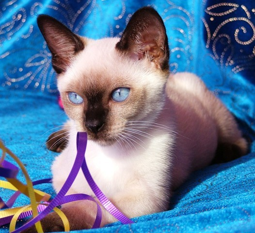 THIS IS A LOVELY SEAL POINT TONKINESE KITTEN gallery image