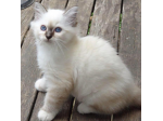 Akissi Birmans.   - Birman Cat Breeders Aust - Brisbane, Queensland