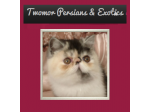 Twomor Persian & Exotic Cat Breeder, QLD