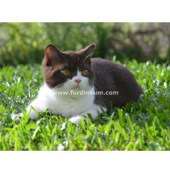Registered British Shorthair Cat Breeders Australia