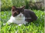 Furdinkum - British Shorthair Breeders Aust - Brisbane, Queensland