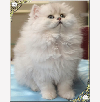 Persian cat qld