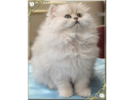 Jandindi Chinchilla Persians & Exotic Kittens Breeder, Fernvale, QLD