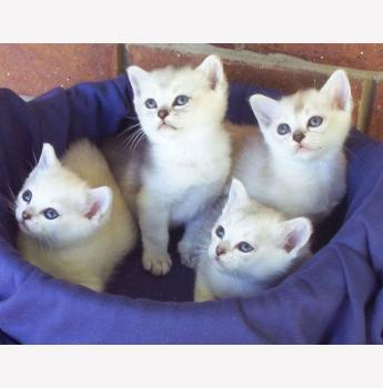 Shezarda - Burmilla Cat Breeder - Greenbank QLD