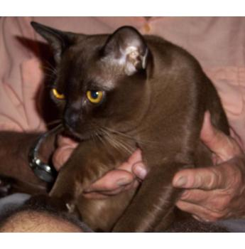 Burmese cats for sale darwin