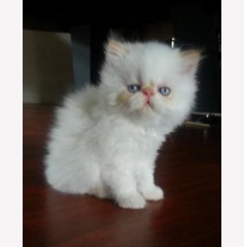 American shorthair kittens for sale in melbourne