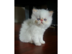 Exoticstar - Persian & Exotic Shorthair Breeder - Melbourne, VIC