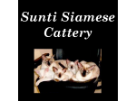 Sunti Siamese Breeder, Cairns, QLD