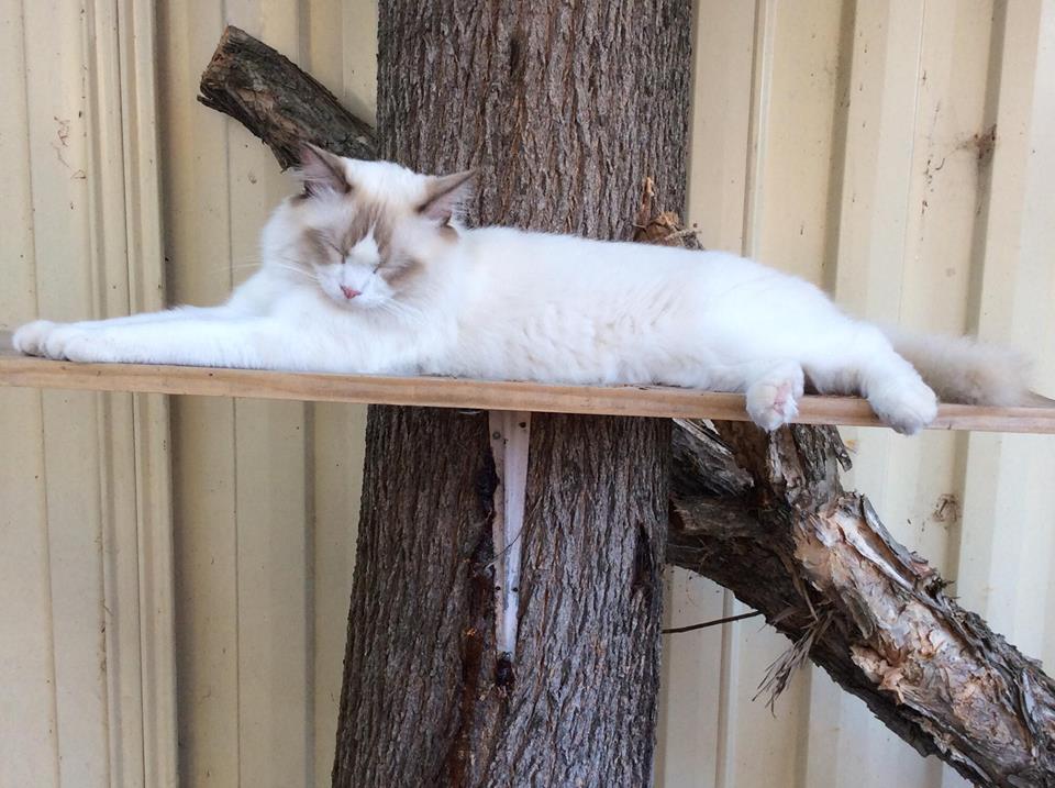 Ragdoll Cat For Breeding Adelaide