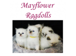 Mayflower Ragdolls - Ragdoll Cat Breeder - Bendigo, NSW