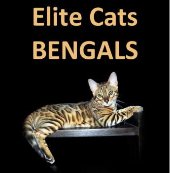 Bengal cat brisbane