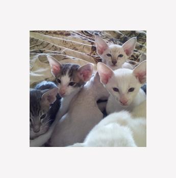 Hareem Oriental Cattery - Siamese and Oriental Breeder ...