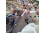 Hareem Oriental Cattery - Siamese and Oriental Breeder - Kingaroy, QLD