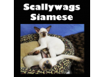 Scallywags Siamese - Breeder - Brisbane