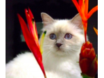 BRINCAT BIRMANS - Birman Breeder - Sunshine Coast, Queensland