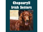 Chepauryll - Irish Setter Breeder - Mackay, QLD