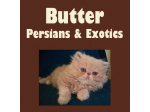 Butter Persians - Persian & Exotic Breeder - Brisbane