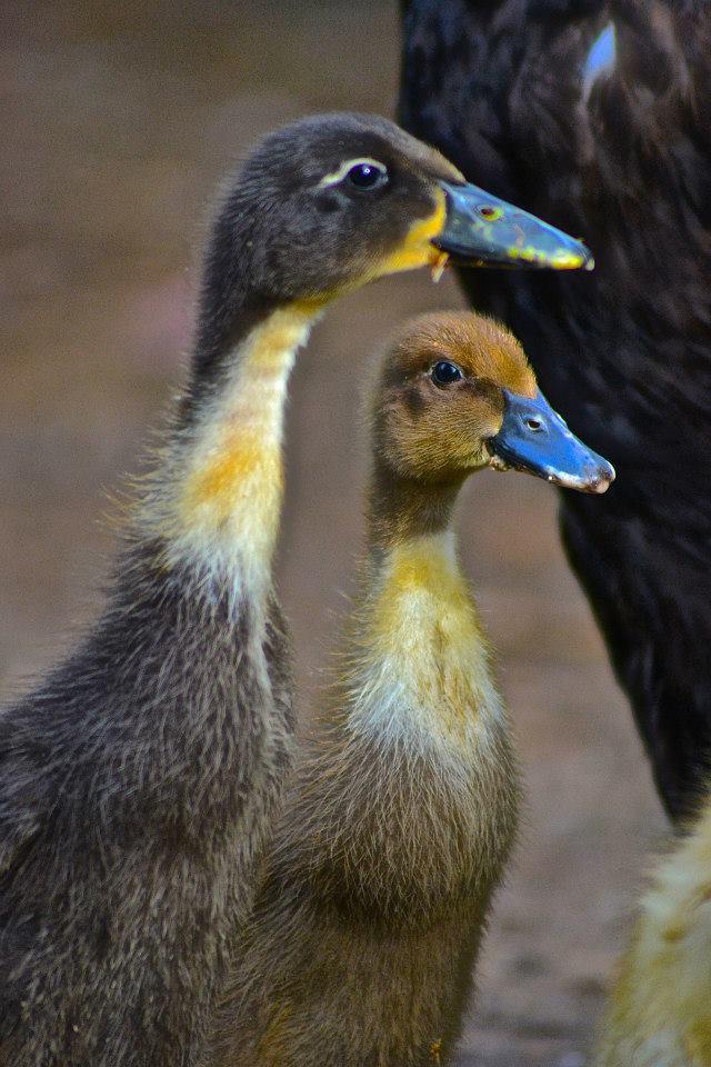 Indian Runner Ducks gallery image