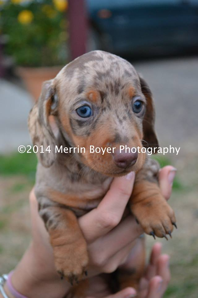 Cooledach Dachshunds  gallery image