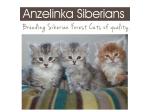 Anzelinka Siberians - Hypoallergenic Cat Breeder - Adelaide, South Australia