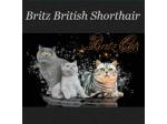 Britz British Shorthair Cat Breeder - Albany, Western Australia