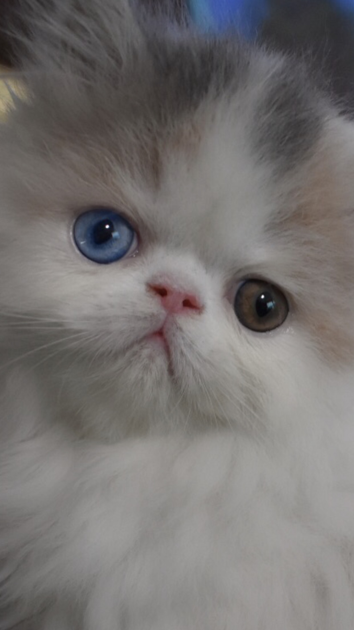 Odd eyed persian bi colour gallery image