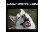 Kabanae - Siberian Husky Breeder - Westbury, TAS