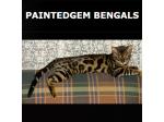 Paintedgem Bengals - Bengal Cat Breeder- Western Australia