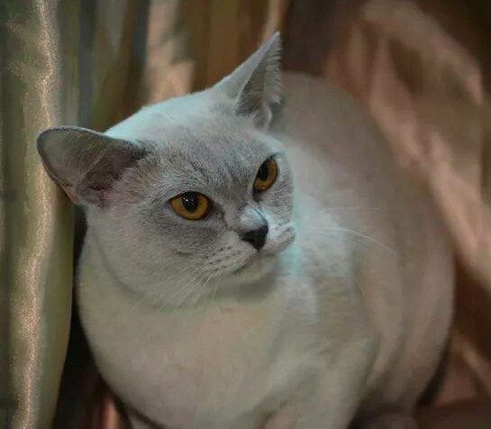 Brookside Burmese Cat Breeder Adelaide South Australia
