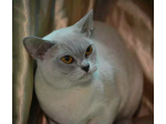 Brookside Burmese Cat Breeder - Adelaide, South Australia