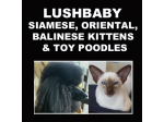 Lushbaby - Siamese, Oriental, Balinese Cat Breeder & Toy Poodle Breeder - South Australia
