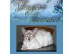 Tingsoo Siamese Kitten Breeder - Adelaide