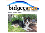 Bidgeesrun  - Border Collie Breeder - NSW