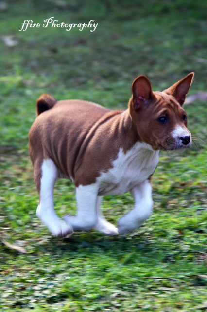 how to become a registered dog breeder nsw