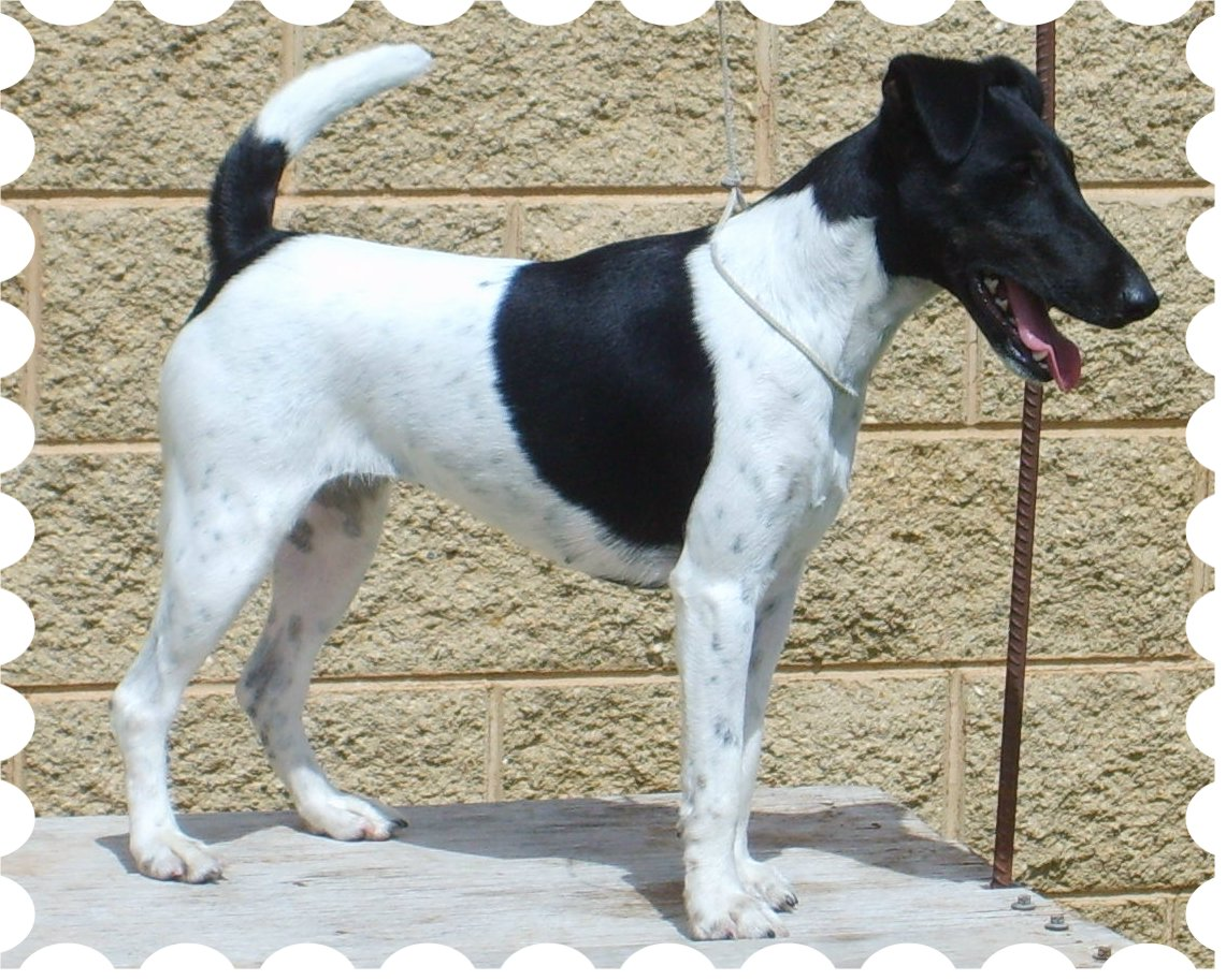 Australian Champion Foxscott Black Heart