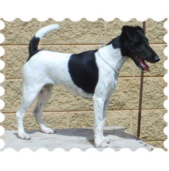 Triplefun  - Smooth Fox Terrier & Tenterfield Terrier Breeder - Junee, NSW