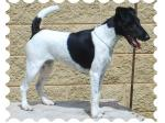 Triplefun  - Smooth Fox Terrier & Tenterfield Terrier Breeder - Junee, NSW