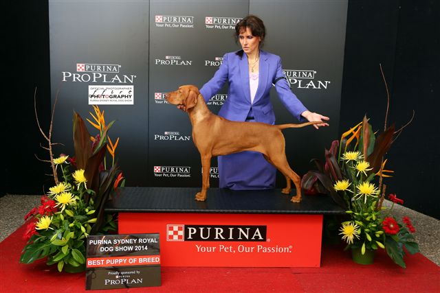 Beaucoup, Puppy of Breed, Sydney Royal 2014 gallery image