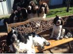 Burlishcharm English Springer Spaniel Breeder -  Cootamundra, NSW