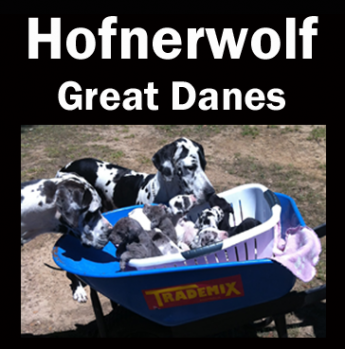 Hofnerwolf - Great Dane Breeder - NSW
