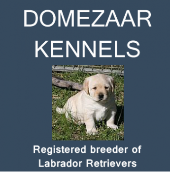 Domezaar Kennels - Labrador Retriever Breeder - Newcastle
