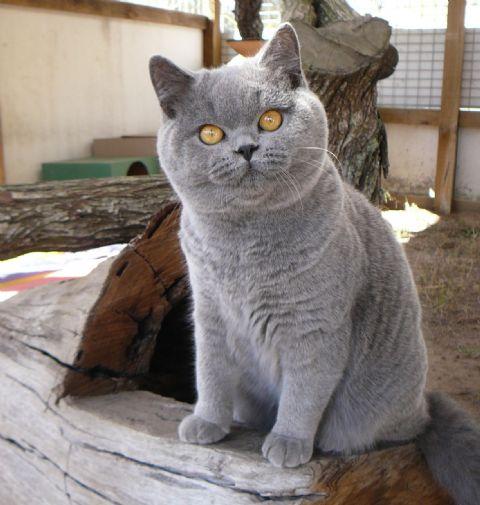 British shorthair kittens for sale 2014