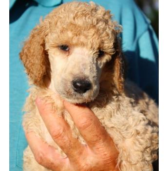 Standard poodle breeders brisbane