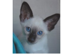 Lealjo Siamese - Seaforth Mackay (Country Area)