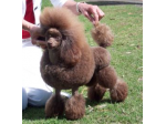 Adithe Toy Poodles - Poodle Breeder - Brisbane, QLD